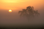 Golden sunrise on misty morning in the Central Valley next to tree in farm pasture field, Merced County, California