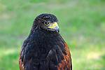 HAWKS; swainson,s hawk