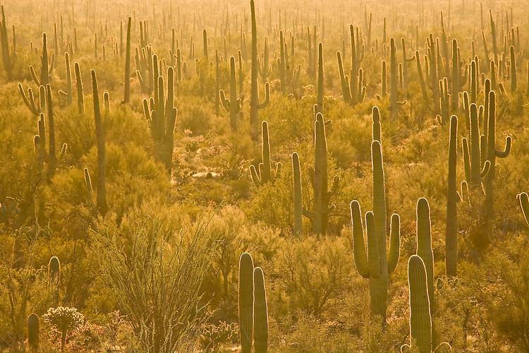 Saguaro cactus, Cereus giganteus, in Saguaro National Park, Arizona