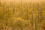 Saguaro cactus, Cereus giganteus, in Saguaro National Park, Arizona