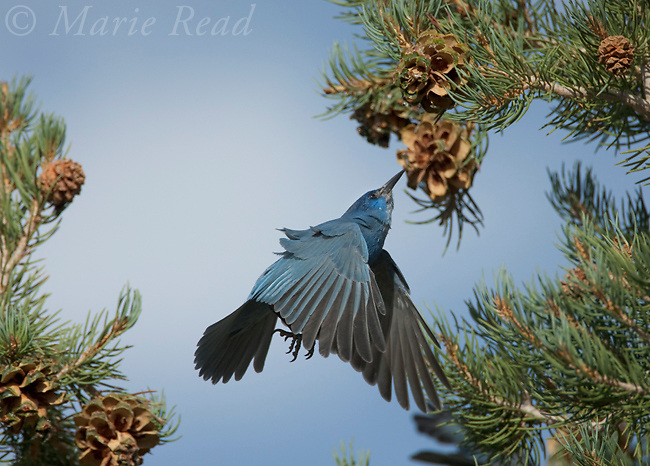 Pinyon jay (Gymnorhinus cyanocephalus), hovering to gather Pinyon Pine seeds, Mono Lake Basin, California, USA