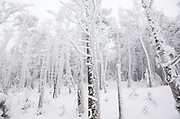 Snow covered softwood forest along the Willey Range Trail in the White Mountains, New Hampshire USA during the winter months.