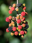 Wild Ripening Blackberries, Rubus species, Kent, UK