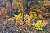 Bigtooth Maples (Acer grandidentatum) and Ponderosa Pine (Pinus ponderosa) fallcolors, McKittrick Canyon, Guadalupe Mountains National Park, Texas, USA