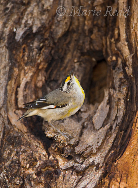 Striated Pardalote (Pardalotus striatus), outside nest hole in tree, Flinders Chase National Park, Kangaroo Island, Australia