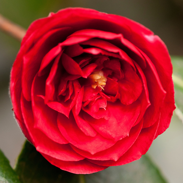 Camellia japonica 'Chandlers Red', mid March.