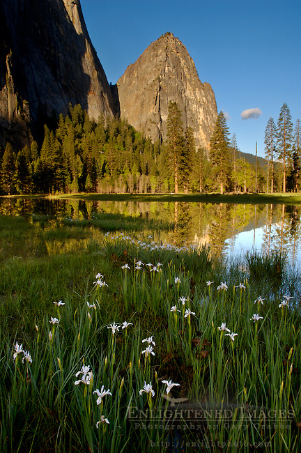 Wild iris wildflowers next to flooded meadow in spring, below Cathederal Rocks, Yosemite Valley, California