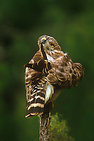 542058002 a wild red-shouldered hawk buteio lineatus preens while perched on a mesquite snag in the rio grande valley in south texas