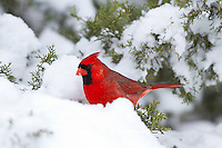 01530-20816 Northern Cardinal (Cardinalis cardinalis) male in Keteleeri Juniper tree (Juniperus chinensis 'Keteleeri')  in winter, Marion Co., IL