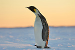 Curious emperor penguin standing on sea ice during sunset.