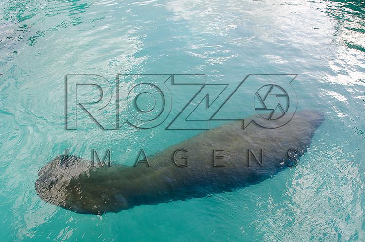 Peixe-boi-marinho (Trichechus manatus) no Centro de Preservação do Peixe-Boi Marinho - vinculado ao ICMBio - Instituto Chico Mendes, Ilha de Itamaracá - PE, 12/2012.