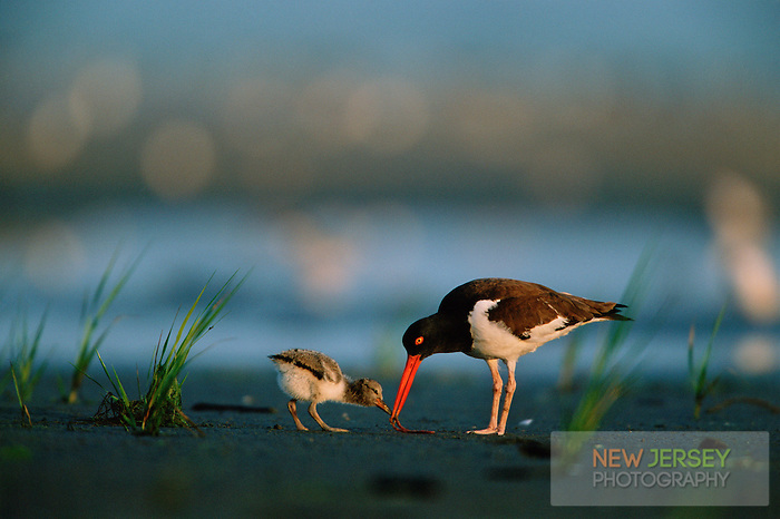 American Oystercatcher, feeding a hungry chick, Stone Harbor, New Jersey