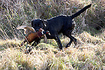 Pix: Shaun Flannery/sf-pictures.com..COPYRIGHT PICTURE>>SHAUN FLANNERY>01302-570814>>07778315553>>..19th December 2008...............Loversall 'game shoot' in Doncaster, South Yorkshire..A black Labrador retrieves an injured Pheasant as it attempts to escape its clutches.
