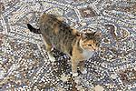 Wild Cat At Ephesus