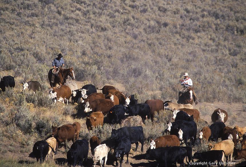 Cowboys herding cattle. #2 Ponderosa Ranch, Seneca, OR.