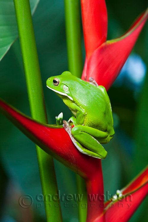 White-lipped tree frog (Litoria infrafrenata) on a heliconia flower.  Cairns, Queensland, Australia