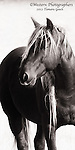 A black and white photo of a wild mustang stallion.
