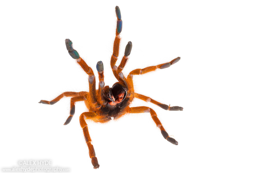 Baboon Spider {Pterinochilus murinus} photographed on a white background. Captive, originating from Africa.