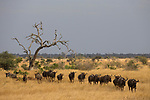 Blue Wildebeest (Connochaetus taurinus) herd in savanna, Kruger National Park, South Africa