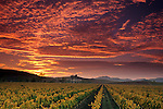 Vineyards and sunset, Carneros Region, Napa County, California