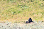 A grizzly bear is on a bison carcass n Yellowstone.