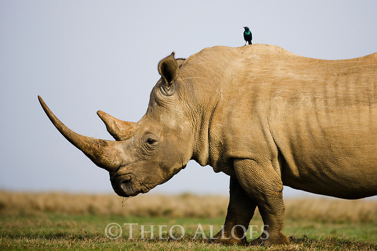 White rhinoceros (Ceratotherium simum), glossy starling on back, Private Game Reserve