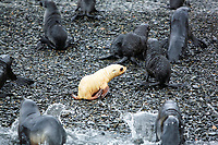 Antarctic fur seal, Arctocephalus gazella, aka Kerguelen fur seal, rare, leucistic pup, along with the normally dark-colored pups, on the beach, South Georgia, Atlantic Ocean