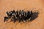 Namibia;  Namib Desert, Skeleton Coast, large group of ostriches, Huab River Valley, aerial view