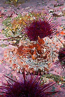 TA0805-D. Giant Pacific Octopus (Enteroctopus dofleini), very small juvenile octopus camouflaged on bottom among Red Sea Urchins (Stronglyocentrotus franciscanus). British Columbia, Canada, Pacific Ocean.<br /> Photo Copyright &copy; Brandon Cole. All rights reserved worldwide.  www.brandoncole.com