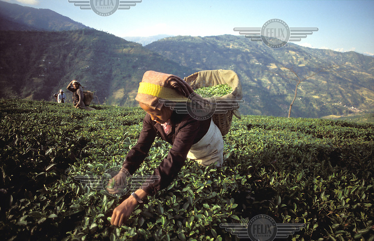 © Paul Smith / Panos Pictures..Darjeeling, West Bengal, INDIA..Women picking tea in the high fields.