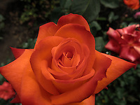 BOGOTÁ-COLOMBIA-15-01-2013. Rosa naranja con amarillo, Rosa France libre. Rose orange with yellow, rose France Free.  (Photo:VizzorImage)