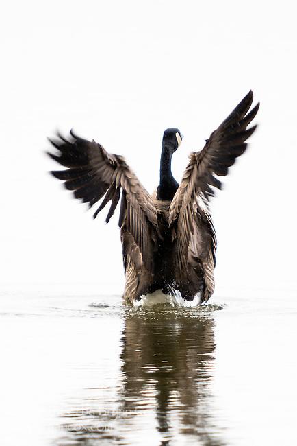 Canada Goose, Fern Hill Wetlands, Oregon