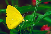 PHOEBIS PHILEA, Orange-Barred Sulphur Butterfly subfamily - Coliadinae;    family - Pieridae; order - Lepidoptera;      class - Insecta;   phyllum - Arthropoda;     kingdom - Animalia. NEW ORLEANS LOUISIANA USA AUDUBON ZOO.