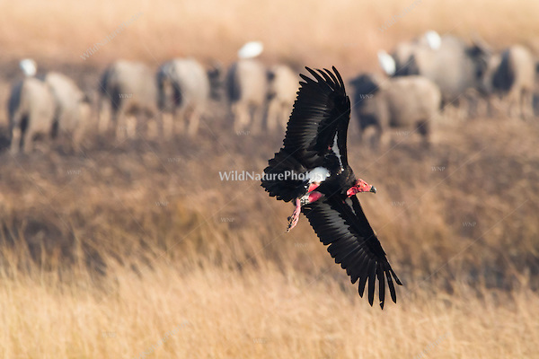 """Critially endangered Red-headed Vulture (Sarcogyps calvus) flies in to feed on a dead cow at a """"vulture restaurant."""" (Cambodia)"""