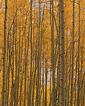 Aspen trees in autumn colors, San Juan Mountains, Telluride, Colorado, USA. .  John offers private photo tours and workshops throughout Colorado. Year-round.