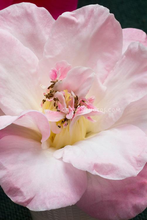 Camellia 'Blissful Dawn' semi-double white shaded pink towards edge