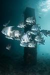 Spadefish, Atlantic Spadefish, Chaetodipterus faber