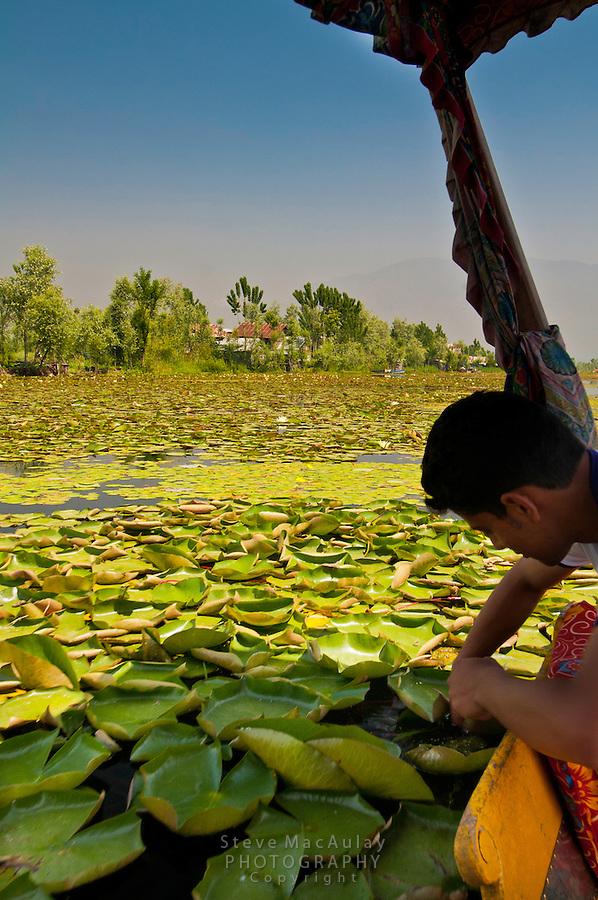 Kashmiri guide picking water lily to craft into necklace, Dal Lake, Srinagar, Kashmir, India.