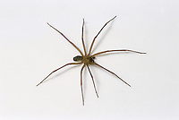 Brown Spider (Brown Recluse, Loxosceles deserta)