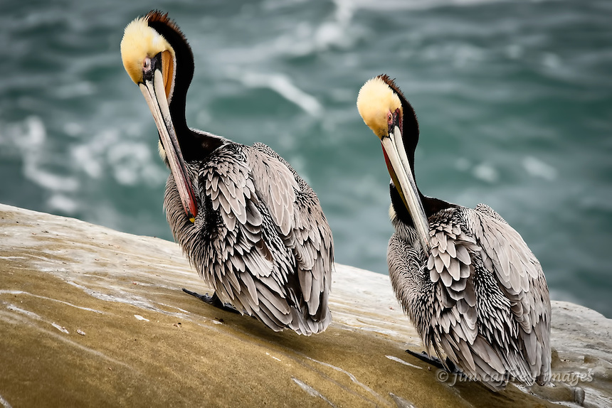 Brown Pelicans preen in unison at La Jolla Cove near San Diego, California