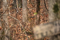 NWA Media/ J.T. Wampler - A doe keeps a wary eye out Monday Dec. 15, 2014 in woods near Little Flock.