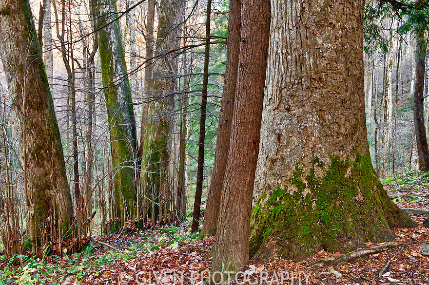 Old Growth Hardwood Forest, Great Smoky Mountains National Park, Tennessee