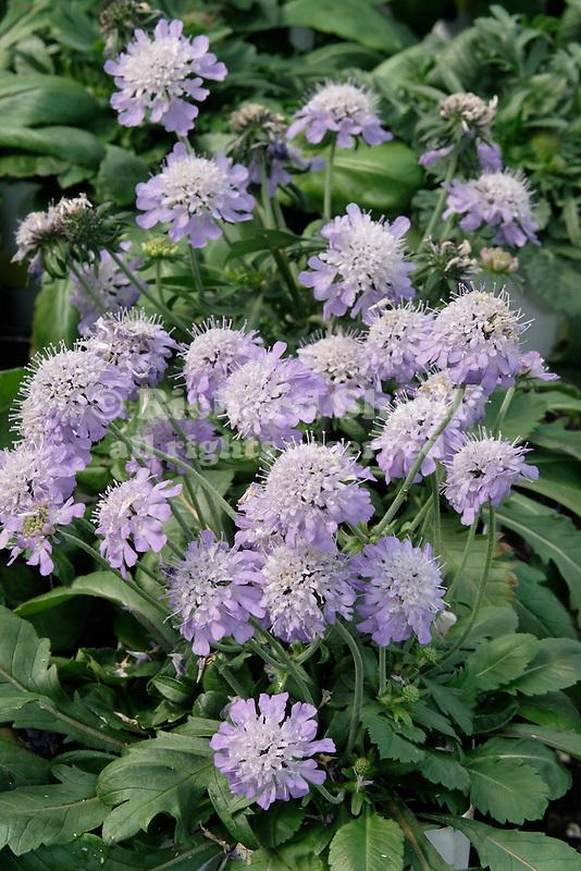 'RITZ BLUE' PINCUSHION FLOWER, SCABIOSA HYBRID