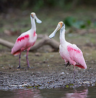 We saw a few spoonbills in the Pantanal, but they were generally pretty shy.