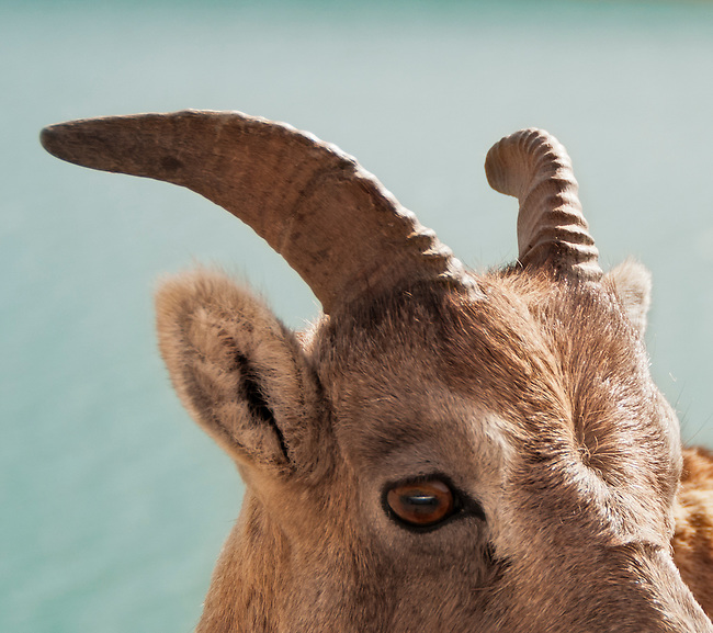 Closeup of a female Rocky Mountain sheep at Jasper National Park, British Columbia, Canada.