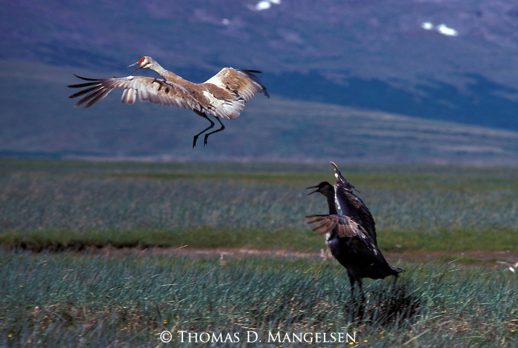 Sandhill Cranes in Platte River, Nebraska