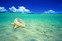 Large conch shell in blue ocean on white sand in Kaneohe bay, Oahu