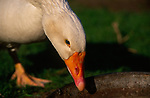 ADD2X1 White Embden English goose head close up