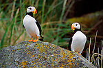 Perched on a cliff off the Alaska Peninsula, a pair of horned puffins stay near their nesting sight, where they will vigilantly protect and feed their only brood of the year.