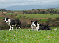 Two Border Collie sheepdogs in a field at Saddle End Farm Chipping, Preston, Lancashire.